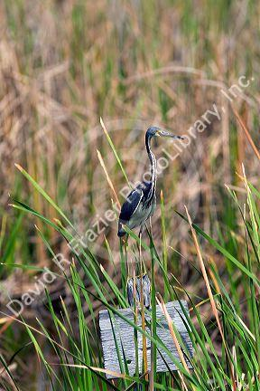Inmature Tricolored Heron sits on a sign post in Everglades National Park, Florida.