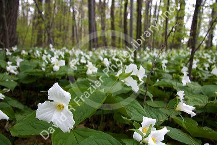 Trillium flowering plants growing wild in a woodlot in Michigan, USA.
