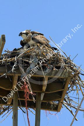 Osprey nesting on a platform atop a utility pole in Idaho, USA.