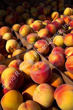 Newly harvested peaches on a farm in Canyon County, Idaho, USA.