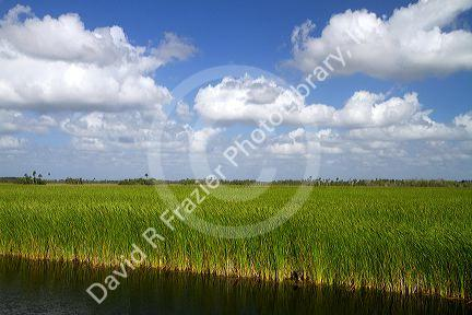 Sawgrass in the Florida everglades.