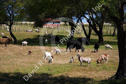 Goats and cows graze in a field near Johnson City, Texas.