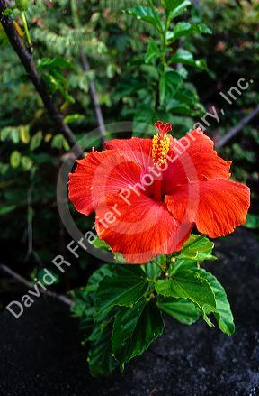 A Hibiscus bloom in Hawaii.