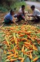 Hmong farmers sort carrot crop in Thailand.