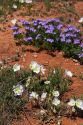 Wild flowers in the New Mexico desert.  Blue verbena and white Mexican poppies.