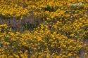 A field of yellow wild flowers near Artesia, New Mexico.