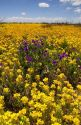 A field of yellow bladderpod and purple wild flowers near Artesia, New Mexico.