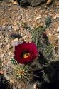 Cholla cactus blossom in Arizona.
