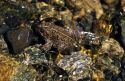 American toad in a creek, blending into its environment.