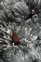 Pine needles and cone covered in frost.