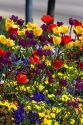 A flower bed full of tulips and pansies.