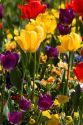 A flower garden full of tulips and pansies.