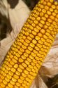 Close up image of the kernels on an ear of corn.