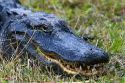 American Alligator in Everglades National Park, Florida.