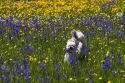 Small dog running through a meadow of wildflowers in Round Valley, Idaho.