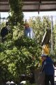 Hops being harvested in Canyon County, Idaho, USA.