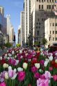 Tulip flowers growing in the city of Chicago, Illinois, USA.