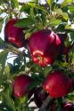 Red Delicious apples grow on the tree in Idaho, USA.