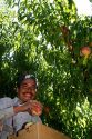 Migrant worker harvesting peaches in southwest Idaho, USA.