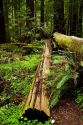 Fallen redwood trees and ferns on the forest floor in Northern California, USA.